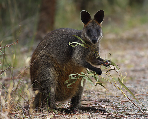 wallaby eating gum leaf
